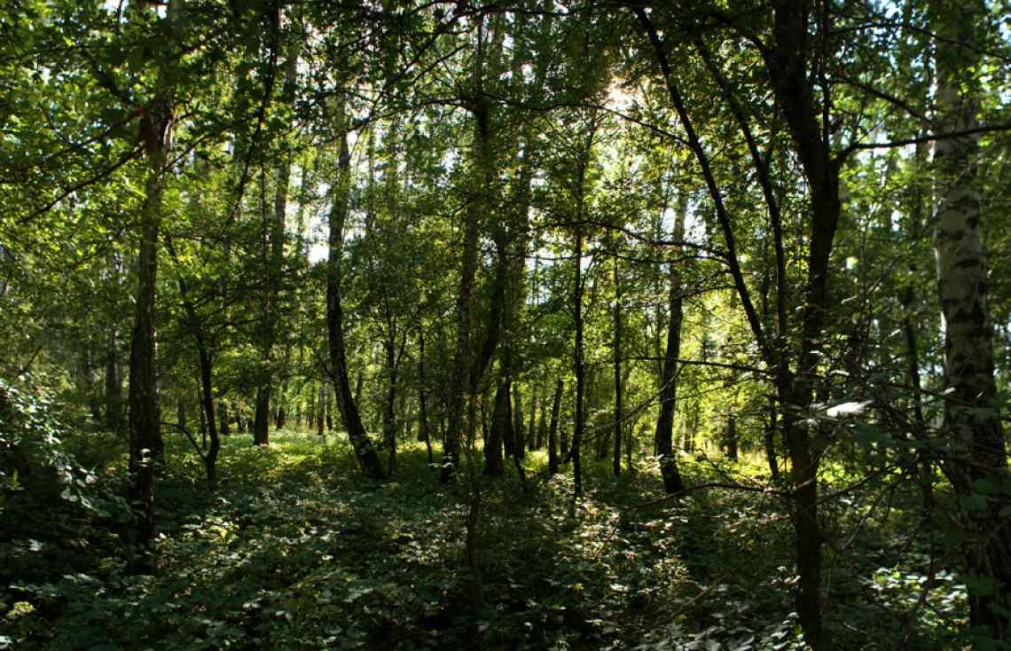 Russian forest, covert, summer